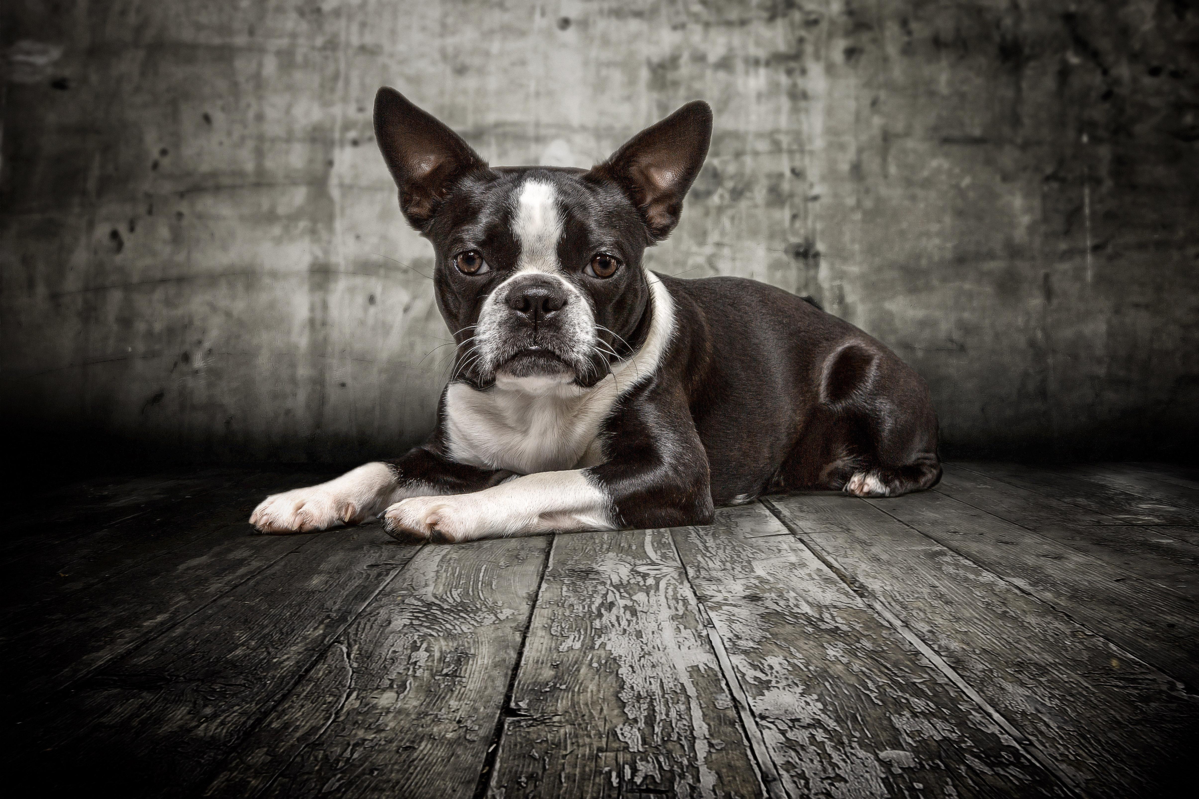 Boston Terrier Emma